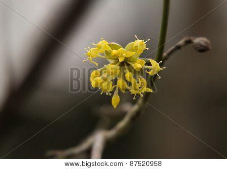 Cornelian Cherry Blossom