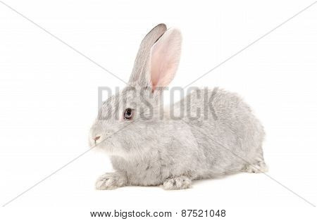 Portrait of a gray rabbit