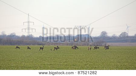 Herd Of Roe Deer