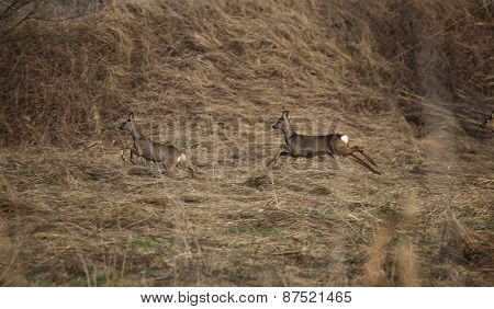 Roe Deer Fleeing