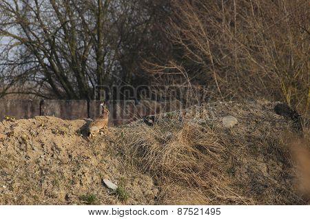 European Hare On Soil Heap