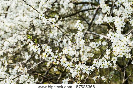 White Flowering Wild Pear Bush From Close