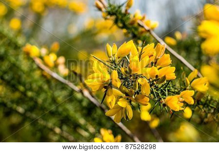 Blossoming Branch Of A Common Broom Shrub