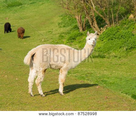 White Alpaca like llama standing in a field looking to camera