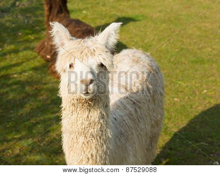 Alpaca like llama standing in a field looking to camera