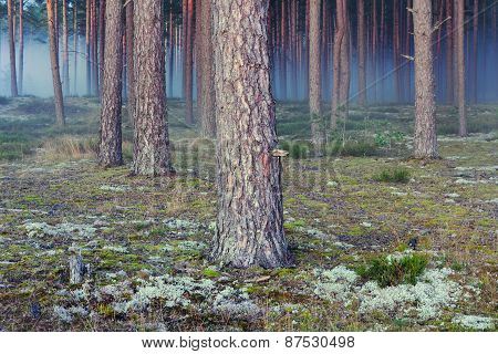 Pine Autumn Forest With A Blue Evening Fog
