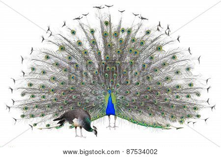 Beautiful Male Indian  Peacock displaying tail feathers Isolated On White Background,front view
