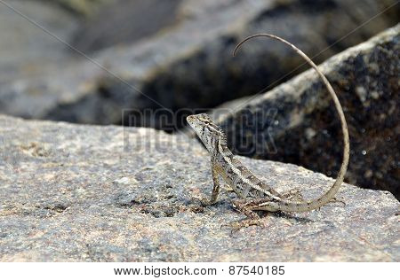 Little Lizard With Long Tail On The Rock In Nature Detail Photo