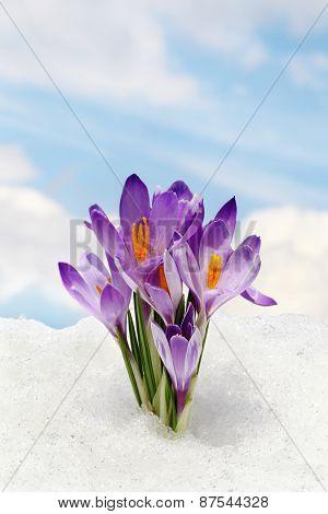Sky blue  flower crocus and snow spring concept