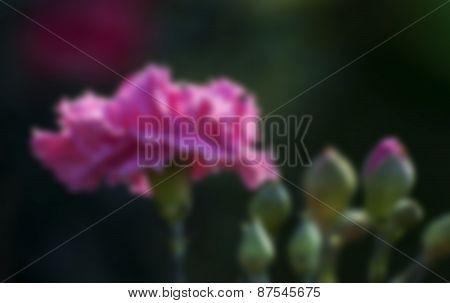 Blurred Pink Rose Petals With Buds, Dark Background