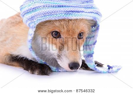 Red Fox With A Hat