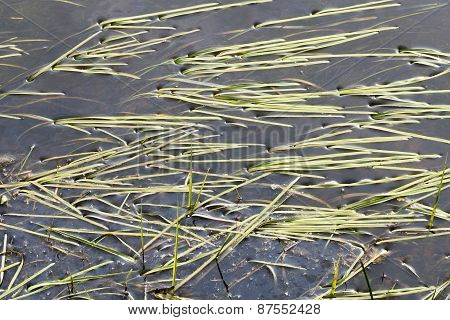 Blades Of Grass In Water.