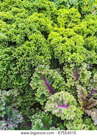 Curly Lettuce In Summer Vegetable Garden