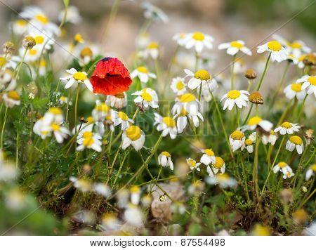 Poppy Among Daisies