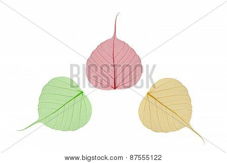 Green, Yellow And Red Leaves Bodhi , Macro, Isolated On White