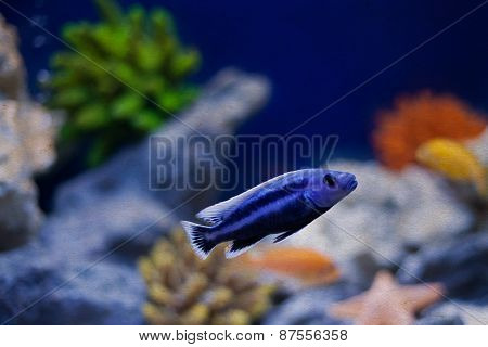 Aquarium Blue Fish