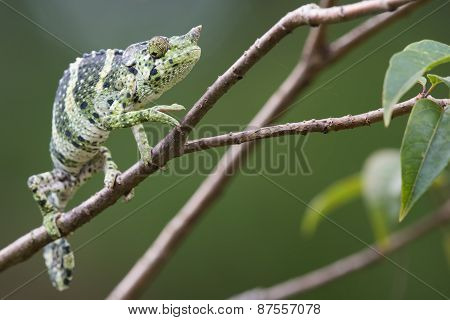 Melleri's Chameleon (chameleo Melleri) Creeping Along A Branch