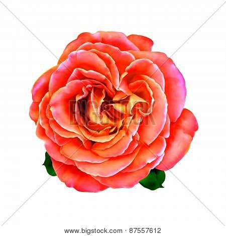 Pink Rose Flower with little green leaves. Spring flower isolated on white background