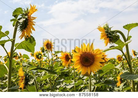 Blooming sunflowers against the sky