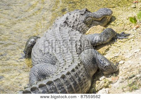 American Alligator Sunbathing on a Riverbank
