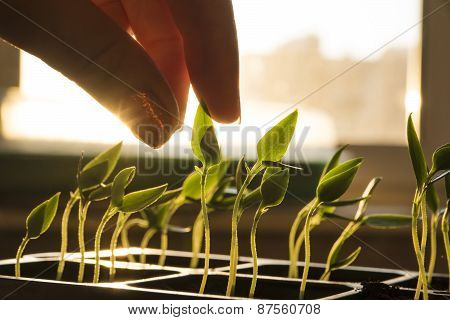 Seedlings at the window, fingers touching young plant