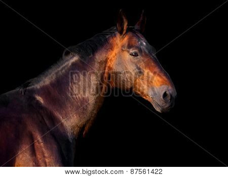 Portrait Of A Dark Bay Horse On A Black Background