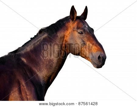 Portrait Of A Dark Brown Horse On A White Background