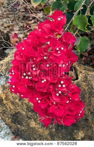 Bougainvillea Flower Cluster