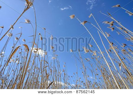 Reeds Moved By The Wind