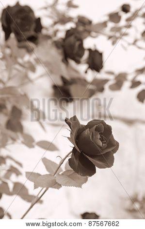 beautiful flower rose. nature