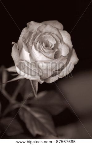beautiful rose in dark background