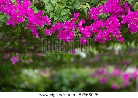 Vivid pink bougainvillea flowers in a garden, shallow depth of field