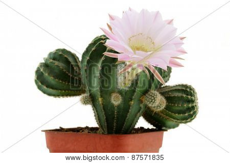 Closeup of Cactus Flower (Echinopsis eyriesii)