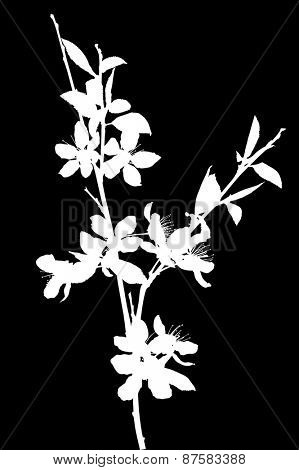 illustration with cherry tree flowers isolated on black background