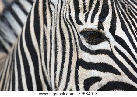 zebra detail. close-up.