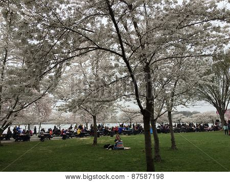 Cherry Blossom Festivities in DC