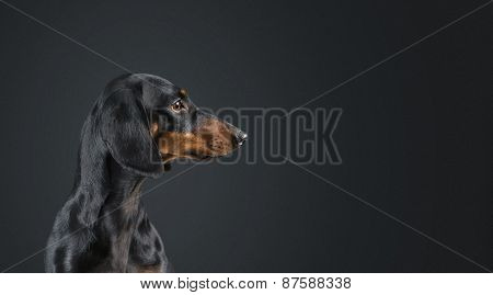 Dachshund Looking To The Side