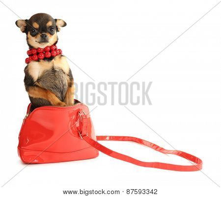 Cute chihuahua puppy in red beads and in female bag isolated on white