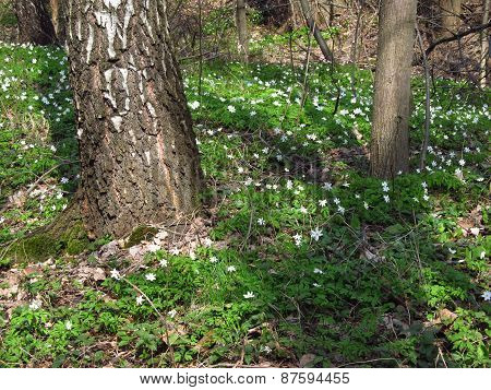 spring in the wood