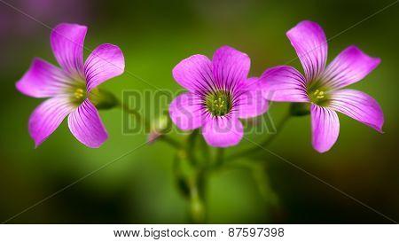 Closeup Pink oxalis oxalis corymbosa in garden
