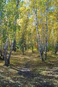 stock photo of birching  - Autumn landscape - JPG