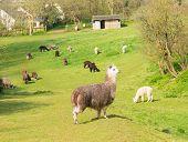pic of alpaca  - Alpaca South American camelid resembles small llama coat used for wool - JPG