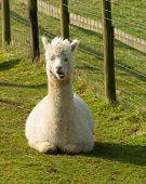 image of alpaca  - Alpaca South American camelid resembles small llama coat used for wool - JPG