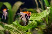 foto of freshwater fish  - Freshwater aquarium - JPG