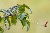 image of chameleon  - Melleri - JPG