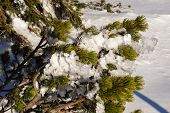 stock photo of paysage  - Frosted Snow On A Fir in the Czech Republic - JPG