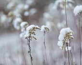 stock photo of goldenrod  - Plants under snow - JPG