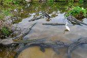 stock photo of alligator  - Alligators - JPG