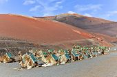 pic of canary  - Camels in Timanfaya National Park waiting for tourists Lanzarote Canary Islands Spain - JPG