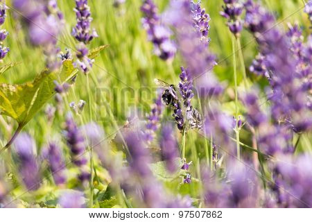 Bee Gathering Honey In Lavender Field